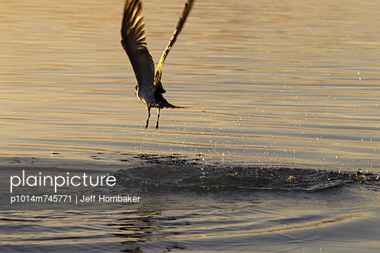 Seabird Flying Over Water  - p1014m745771 by Jeff Hornbaker