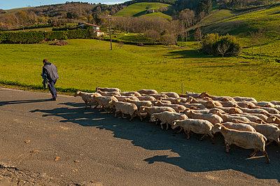 Schafherde im Baskenland - p470m1043009 von Ingrid Michel