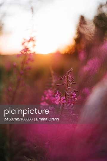 Flowers in sunset - p1507m2168003 by Emma Grann