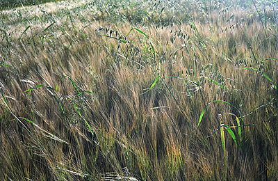 Field of Barley - p1158m1054810 by Patricia Niven
