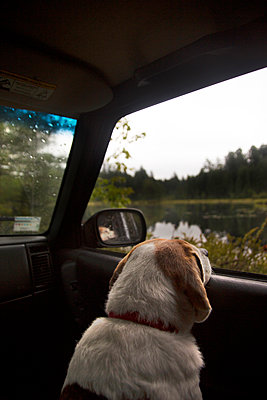 Pet Dog Looking Outside The Window Of A Car During A Road Trip To Adirondacks - p343m1204084 by Natasha Shapiro
