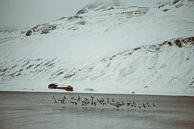 island vogelschwarm - p627m671921 by Gudjonsdottir Klempert