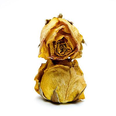 Wilted roses - p813m908613 by B.Jaubert