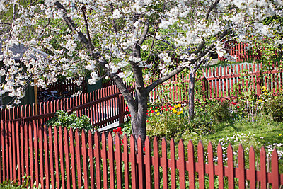 Blooming Apple Tree In The Allotment - p847m888419 by Bildhuset
