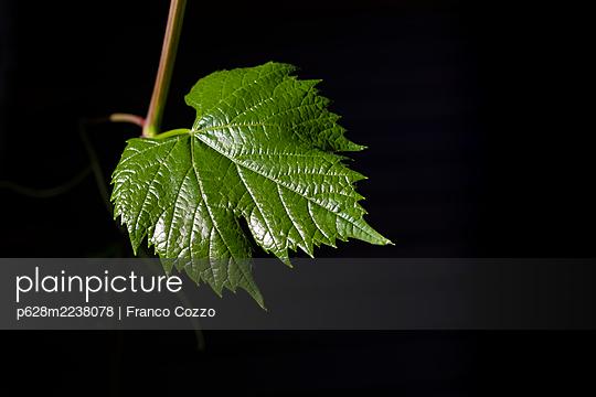 Grape leaf - p628m2238078 by Franco Cozzo