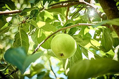 Single green apple on the tree - p851m2205840 by Lohfink