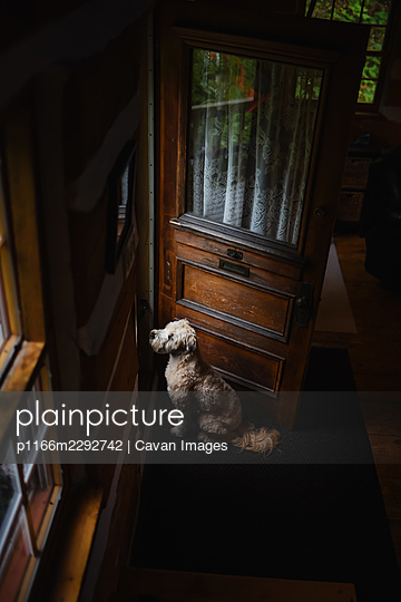 Fluffy dog sitting by a wooden door waiting to be let outside. - p1166m2292742 by Cavan Images