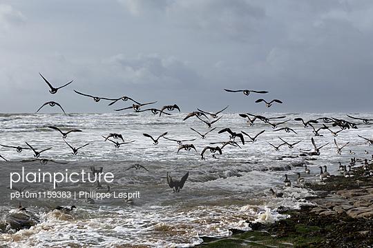 Zugvögel an der Küste - p910m1159383 von Philippe Lesprit