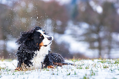 Germany, Saint Bernard lying on snow-covered meadow shaking head - p300m998299f by Stefan Schurr