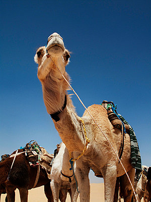 Camels and dromedaries against blue sky, Tunisia. - p31224282 by Lena Koller