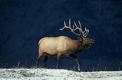 Im Yellowstone Park - p3300466 von Harald Braun