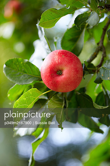 Red apples ripening on a tree in garden  UK - p349m2167900 by Sussie Bell