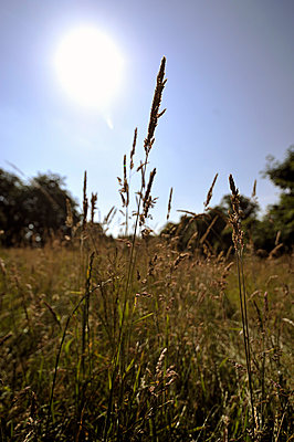 grass with seedheads - p1047m814765 by Sally Mundy
