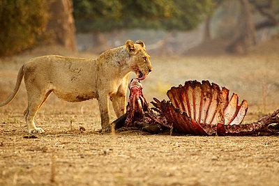 Lioness, Panthera leo, with buffalo kill - p924m805930f by David Fettes