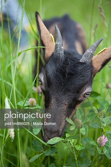 Small goat - p441m886025 by Maria Dorner