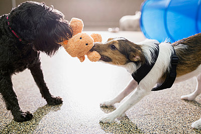 Dogs playing tug-of-war with stuffed animal - p1192m1014131f by Hero Images