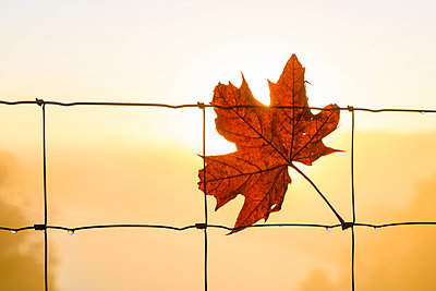 Autumn leaf on chain-link fence - p312m1533548 by Mikael Svensson