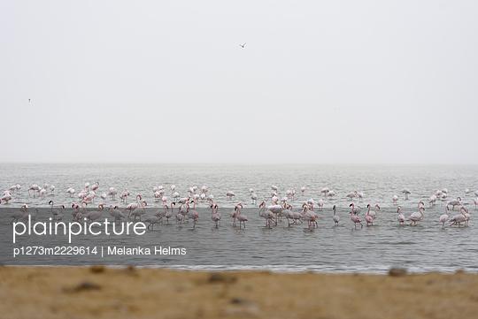 Namibia, Flamingos in the Walvis Bay - p1273m2229614 by Melanka Helms