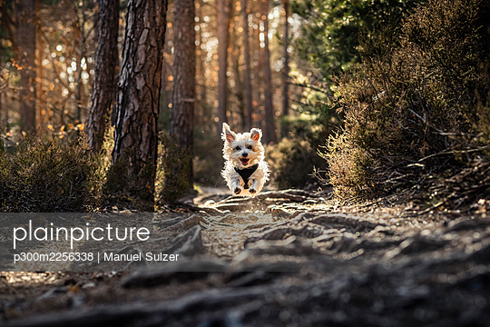 Dog running in Palatinate forest during sunrise at Palatinate, Germany - p300m2256338 by Manuel Sulzer