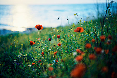 Close up of poppy field - p555m1504203 by Dmitry Ageev