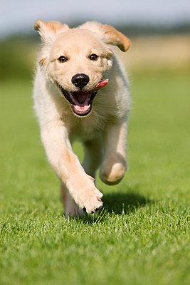 Dog running on grass - p924m665053f by Herbert Spichtinger