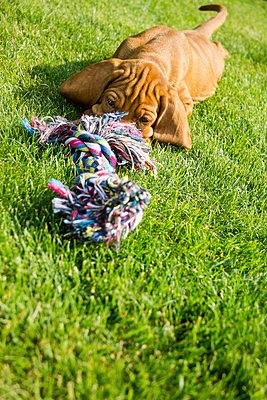 8 weeks old Viszla dog - p739m917881 by Baertels