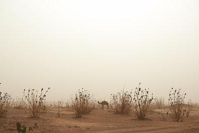 Einzelnes Kamel in der Wüste - p961m1591004 von Mario Monaco