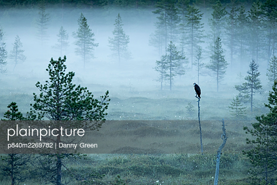 Osprey (Pandion haliaetus) perched on post in misty forest, Finland, July. - p840m2269782 by Danny Green