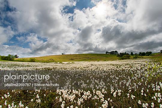 Common cottongrass (Eriophorum angustifolium) growing in a valley bog, Mendip Hills, Somerset, England, UK, June. - p840m2269787 by Steve Nicholls