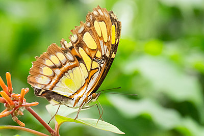 Green and brown Malachite Siproeta Stelenes butterfly on a leaf - p1302m2133307 by Richard Nixon