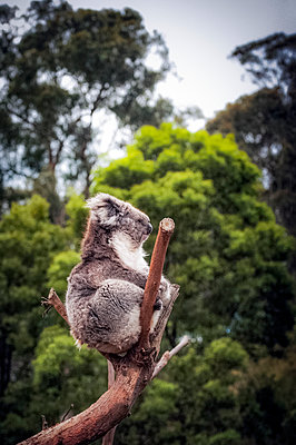 Koala bear sitting in a eucalyptus tree - p1047m1502576 by Sally Mundy