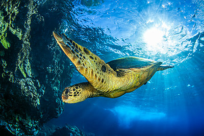 Hawaiian Green Sea Turtle (Chelonia mydas); Maui, Hawaii, United States of America  - p442m1578823 by Jenna Szerlag