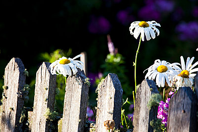 Flowers and fence - p4880377 by Bias