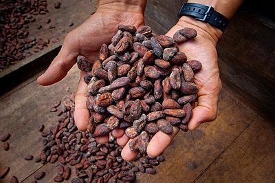 Costa Rica, La Virgen de Sarapiqui, Handful Of Drying Cocoa Beans, Tirimbina Biological Reserve - p651m860510 by John Coletti photography