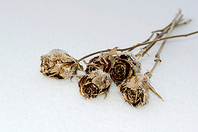 Golden roses in the snow - p451m963476 by Anja Weber-Decker