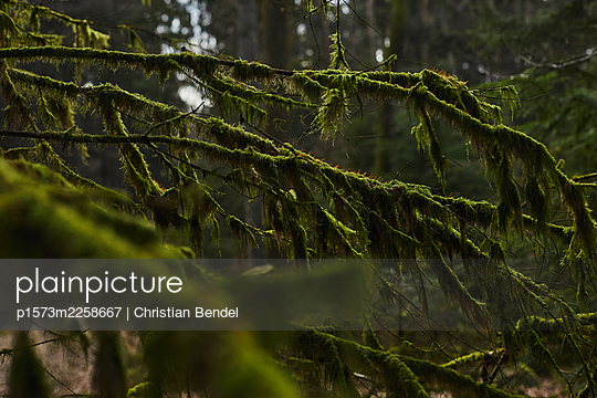 Branches overgrown with moss - p1573m2258667 by Christian Bendel