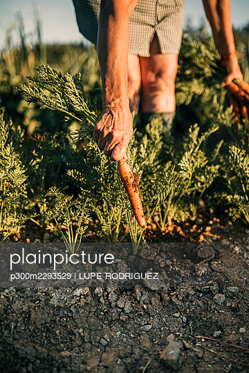 Female farm worker harvesting carrot from vegetable garden - p300m2293529 by LUPE RODRIGUEZ