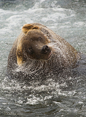 A brown bear shakes off excess water after fishing in Katmai National Park. - p1100m875535 by Art Wolfe