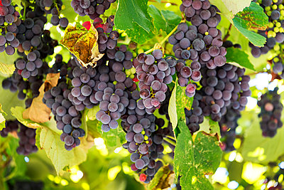 Clusters of purple grapes hanging from the vine; Caldaro, Bolzano, Italy - p442m1580457 by Michael Interisano