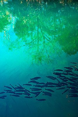Fischschwarm in Süßwasserquelle - p719m2151506 von Rudi Sebastian