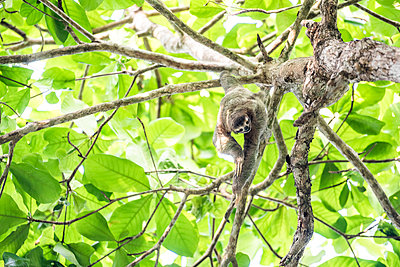 Brown Throated Three Toed Sloth, Playa Biesanz Beach, Manuel Antonio, Costa Rica - p871m2032110 by Matthew Williams-Ellis