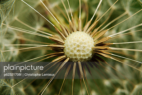 Dandelion seedhead, extreme close-up - p62321708f by Christophe Lemieux