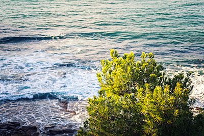 Pine tree growing above the sea. - p1436m2151538 by Joseph S. Giacalone