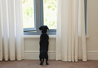 Dog looking out of window - p4296342 by Clarissa Leahy