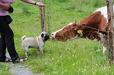 Mops trifft Kuh auf der Weide - p1065m948655 von KNSY Bande