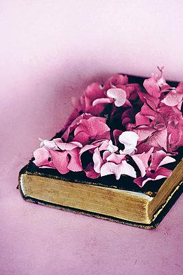 Horstensienblüten auf einem schwarzen Buch  - p450m1561848 von Hanka Steidle