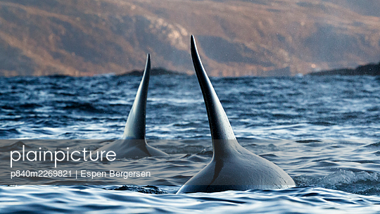 Killer whale (Orcinus orca), two with dorsal fins above water. Troms, Norway. October. - p840m2269821 by Espen Bergersen