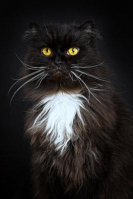 Persian cat - p1332m1215851 by Tamboly