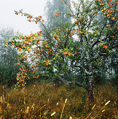 Apple Trees, Sweden  - p847m1443866 by Mikael Andersson