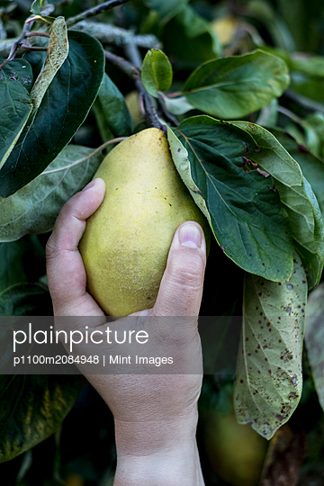 Close up of person picking quince from tree. - p1100m2084948 by Mint Images